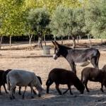 Animais ovelha e zurra