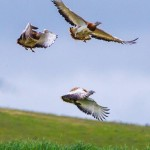 Great Bustards-8009