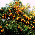 19 laranjeiras