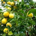 20 limoeiros