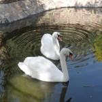 S 07 SELÃO - Swan lake