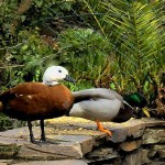 S 09b SELÃO - Duck variety