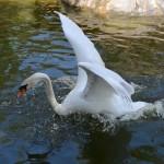 S 51 SELÃO - Cisne a voar no lago (4)