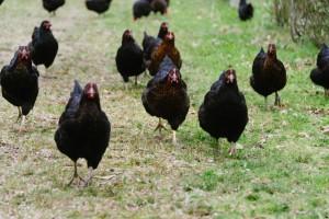 campo-galinhas