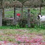 campo-vaca